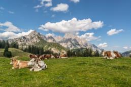 Kühe auf der Weide - Urlaub im Salzburger Land